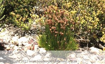 New Species – Ficinia gordongrayae