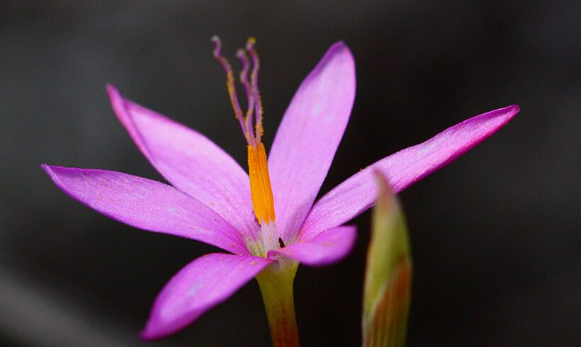 New Species – Hesperantha sp