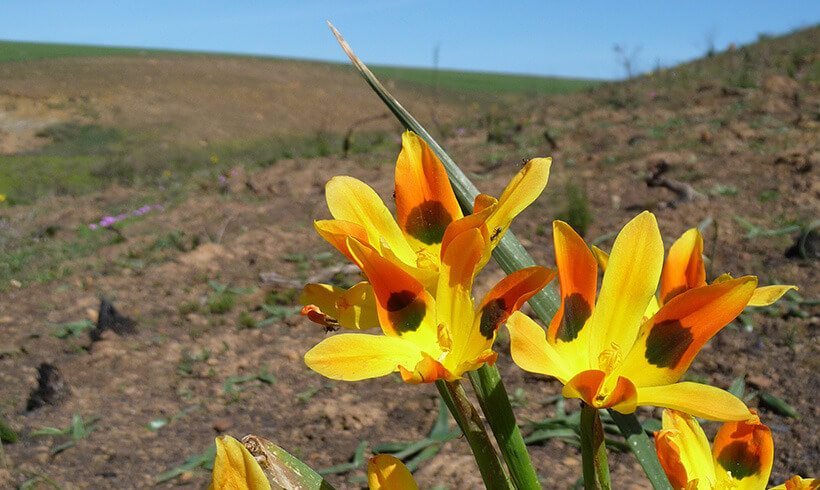The remains of the renosterveld