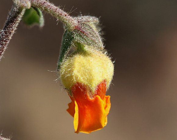 Hermannia sp