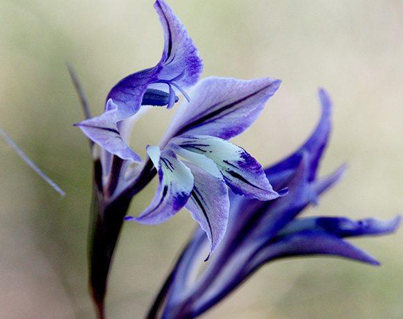 Gladiolus permeabilis