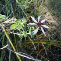 Printzia polifolia