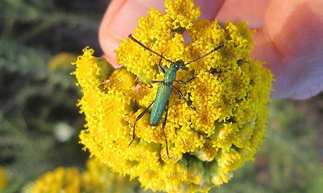 Longhorn Beetles from Haarwegskloof Renosterveld Reserve