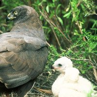 Taking Flight: Black Harriers, Renosterveld and the  Overberg Lowlands Conservation Trust