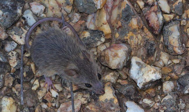 Namaqua-Rock-Mouse