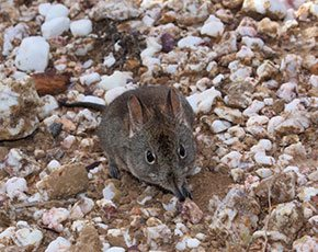 Rodents of the Renosterveld: A Research Update