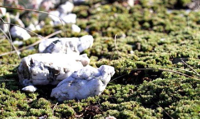 Aspalathus quartzicola