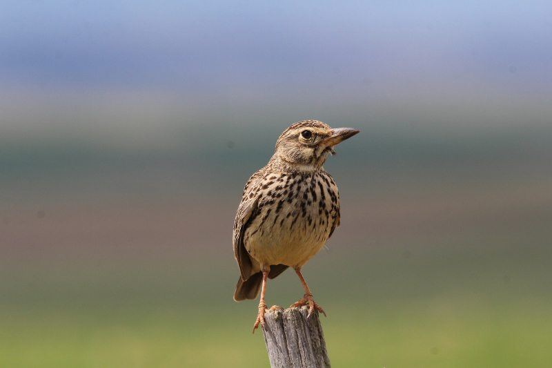 Larks of the Overberg