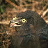 Black Harrier Research