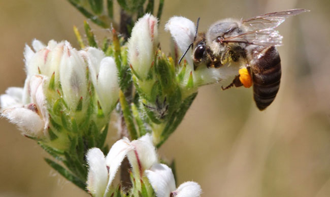 Aspalthus barbigera pollinators