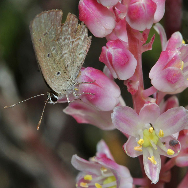 Another new species for the Overberg Renosterveld Conservation Trust