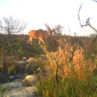 How we're learning more about Renosterveld's animals