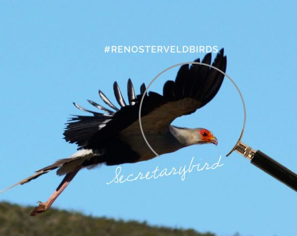 Quick quiz: How well do you know the Secretarybird?