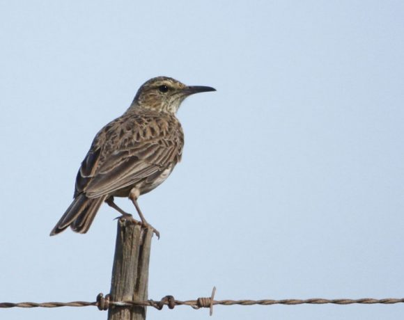 This Overberg Lark has surprised the researchers