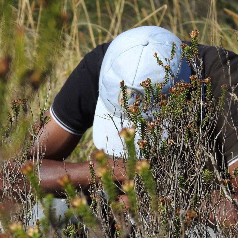 Pollination research: The importance of Renosterveld fragments