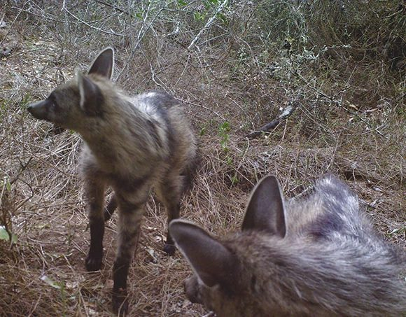 Going, going, gone: Why are the Overberg's insect-eating mammals disappearing?