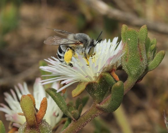 Renosterveld Pollinators: The Secret Life of Solitary Bees and Bee Flies