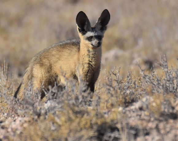 5 Renosterveld animals that will make you smile