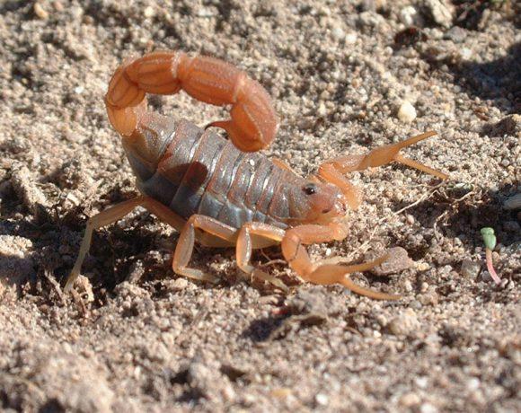The Secret Life of Overberg Renosterveld Scorpions