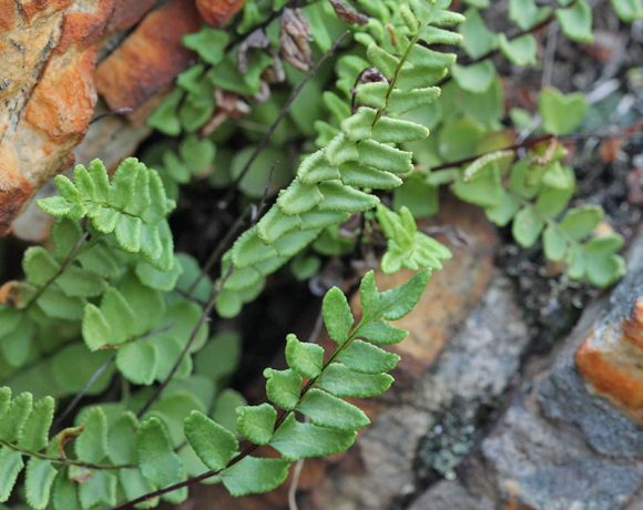 The Renosterveld ferns that come alive in winter