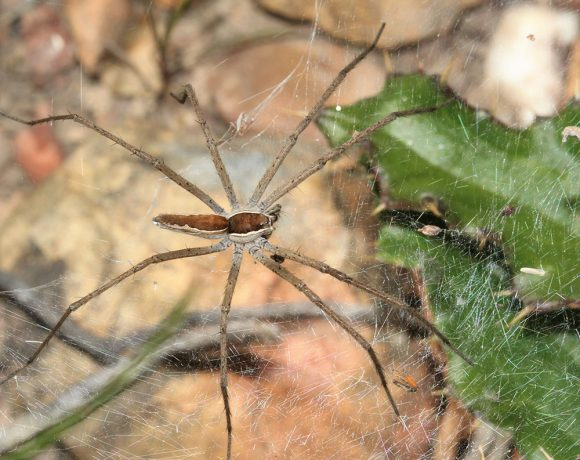 Secretive and shy critters of Renosterveld: Meet the web-dwelling spiders