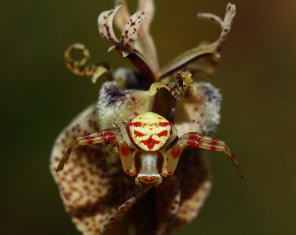 From the cute to the colossal: Plant-dwelling spiders of Renosterveld